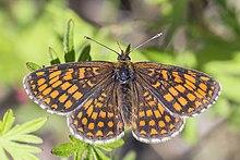 Heath fritillary (Melitaea athalia lachares).jpg