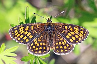 Heath fritillary Species of butterfly