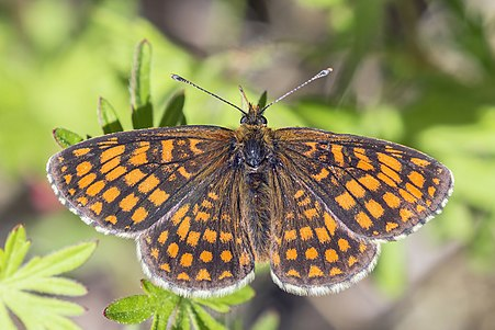 Heath fritillary (Melitaea athalia lachares) from Estonia