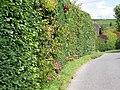 Hedge, East Chisenbury - geograph.org.uk - 1427290.jpg