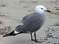 Heermann's Gull RWD2.jpg