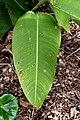 Heliconia tortuosa in Auckland Botanic Gardens.jpg