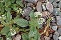 Heliotropium europaeum kz01.jpg
