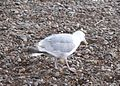 Herring Gull 020.JPG
