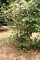 Hibiscus Rosa Sinensis 02.jpg