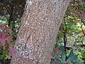 Hibiscus hamabo3.jpg
