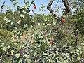 Hibiscus waterbergensis.jpg