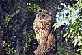 Hibou grand-duc (Zoo-Amiens)b.JPG