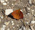 High Brown Fritillary. Argynnis adippe - Flickr - gailhampshire.jpg