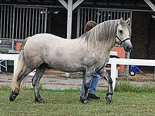 Highland Pony Wikipedia