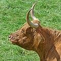 Highland cow (27918639295).jpg