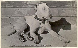 Bull Terrier - James Hinks Bullterrier