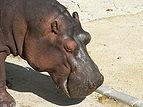 Hippo zoo Lisbon.JPG
