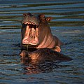 Hippopotamus (6593660121).jpg