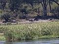 Hippopotamus amphibius 7 MHNT.jpg