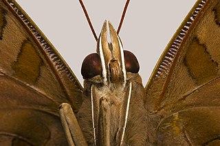 Trompe de papillon dans PAPILLON 320px-Historis_odius_face