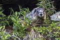 Hoary Marmot (3) (20862881434).jpg