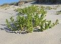 Honckenya peploides kz02.jpg