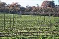 Hop Poles, Risbury - geograph.org.uk - 280977.jpg