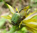 Hoplia argentea. Scarabaeidae - Flickr - gailhampshire (4).jpg
