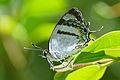 Horaga rarasana ventral view 20150609.jpg
