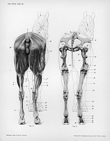 Anatomy of the horse, rear view