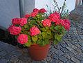 Hortensie hydrangea macrophylla 1 by freak222 2012.jpg