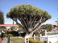 Dragon Tree of the Hotel del Coronado