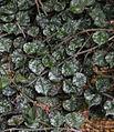 Hoya curtisii National Botanic Garden 041515.jpg