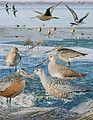 Hudsonian godwit From The Crossley ID Guide Eastern Birds.jpg