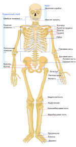 Human skeleton front ru.svg
