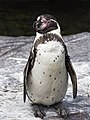 Humboldt Pinguïn (39580348120).jpg