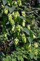 Humulus lupulus female plant (03).jpg