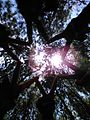 Hutan cemara.jpg