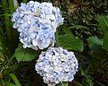 Hydrangea macrophylla blue.jpg