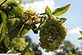 Hydrangea paniculata Grandiflora 8zz.jpg