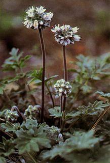 <i>Hydrophyllum occidentale</i> Species of flowering plant