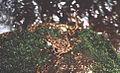 Hylodes asper02.jpg