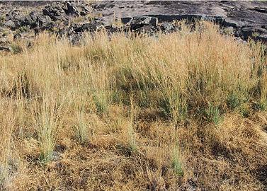 Hyparrhenia hirta formación 20140810.jpg