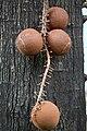 IMG 8291 Cannonball tree ลูกปืนใหญ่ หรือ สาละลังกา Photographed by Peak Hora.jpg