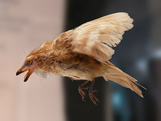 Evolution of birds - Reconstruction of Iberomesornis romerali, a toothed enantiornithe