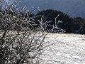 Icy bush below Butser - geograph.org.uk - 404801.jpg