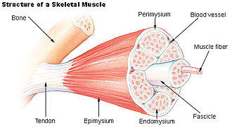Endomysium - Structure of a skeletal muscle. (Endomysium labeled at bottom center.)