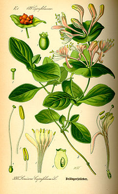 Wohlriechendes Geißblattoder Jelängerjelieber(Lonicera caprifolium)