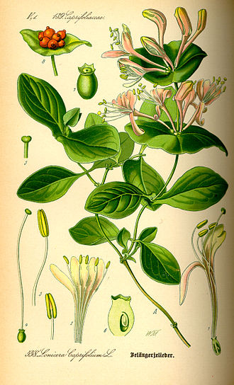 Colombian folklore - Lonicera plant is associated to the spirit of Madremonte