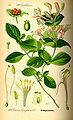 Illustration Lonicera caprifolium0.jpg