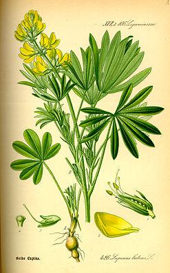 Gelbe Lupine (Lupinus luteus), Illustration.