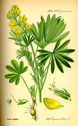 Illustration Lupinus luteus0.jpg