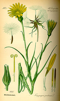 Illustration Tragopogon pratensis0.jpg