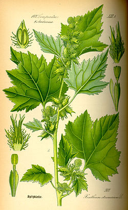 Illustration Xanthium strumarium0.jpg